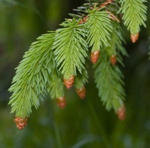 Close up of needle-like leaves of fir tree on green background. Focus on upper leaves.